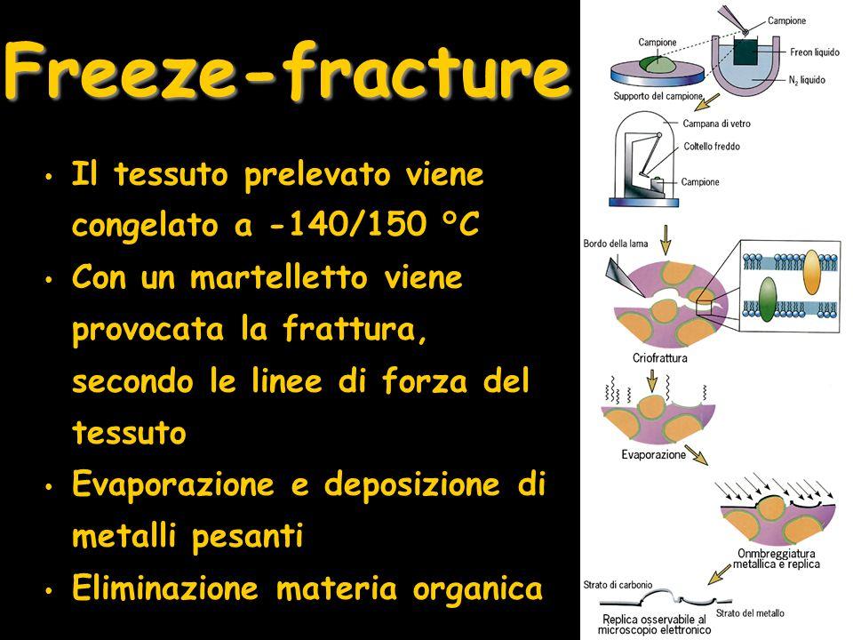 Freeze-fracture Il tessuto prelevato viene congelato a -140/150 °C