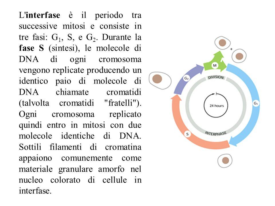 L interfase è il periodo tra successive mitosi e consiste in tre fasi: G1, S, e G2.