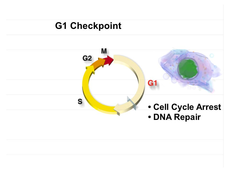 G1 Checkpoint • Cell Cycle Arrest • DNA Repair