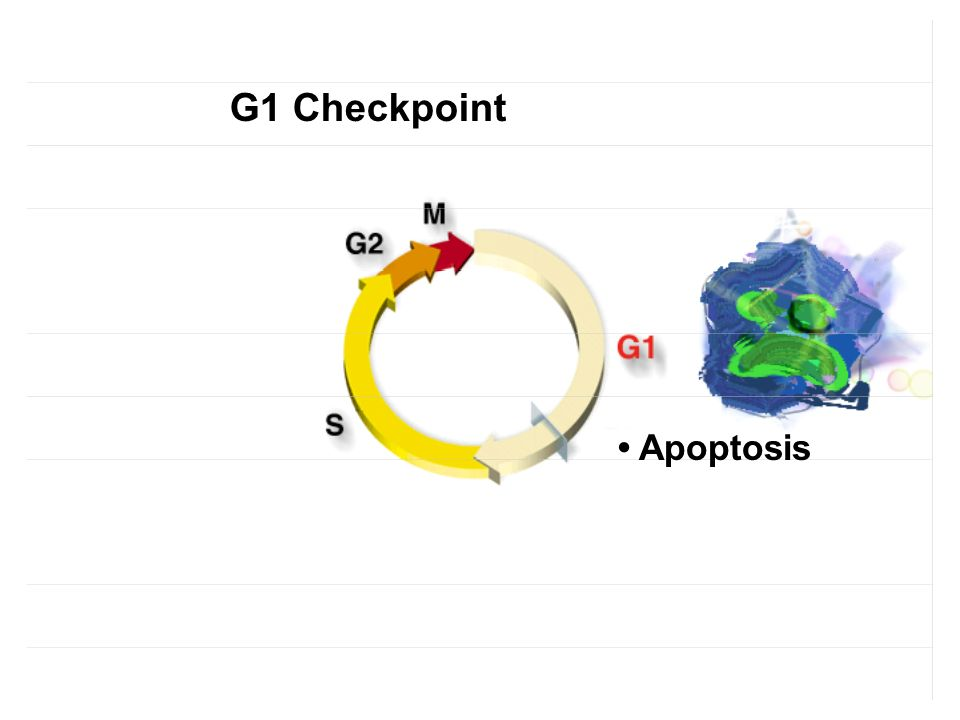 G1 Checkpoint • Apoptosis