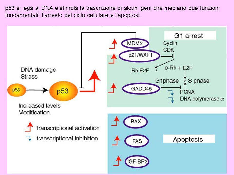 p53 si lega al DNA e stimola la trascrizione di alcuni geni che mediano due funzioni fondamentali: l'arresto del ciclo cellulare e l'apoptosi.