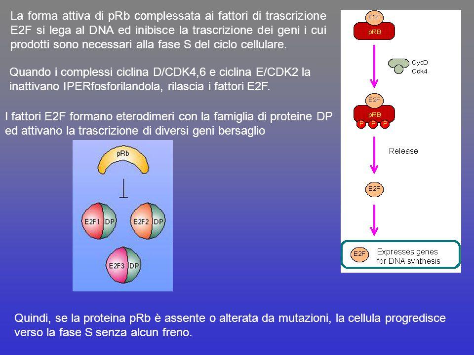 La forma attiva di pRb complessata ai fattori di trascrizione E2F si lega al DNA ed inibisce la trascrizione dei geni i cui prodotti sono necessari alla fase S del ciclo cellulare.
