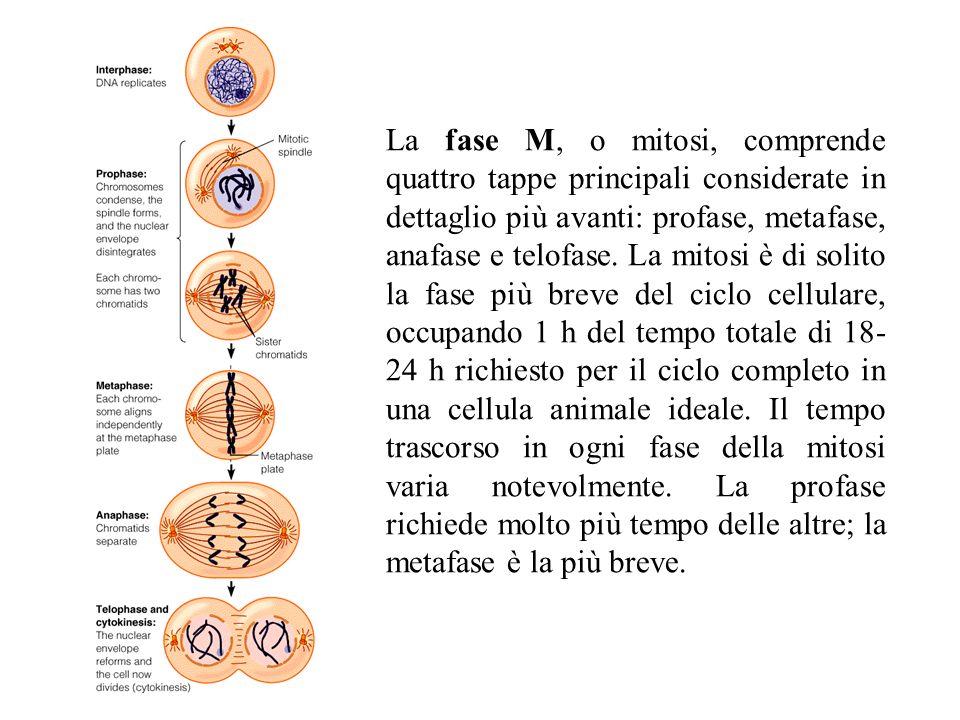 La fase M, o mitosi, comprende quattro tappe principali considerate in dettaglio più avanti: profase, metafase, anafase e telofase.