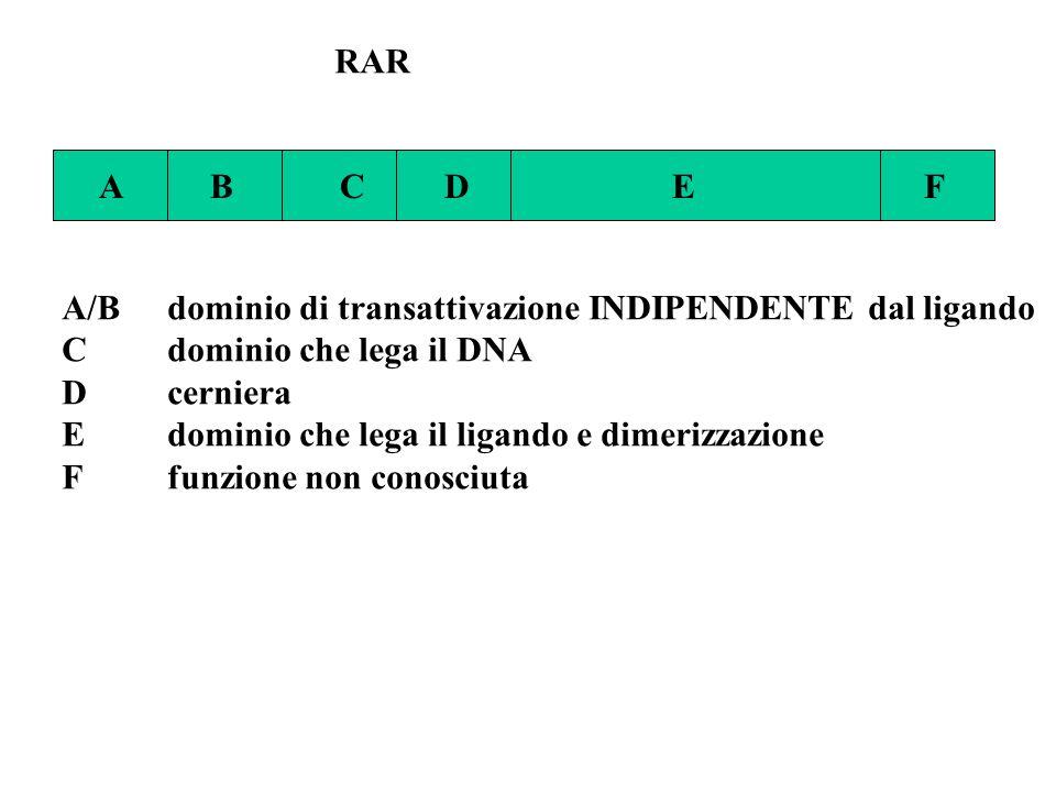 RAR A B C D E F. A/B dominio di transattivazione INDIPENDENTE dal ligando.