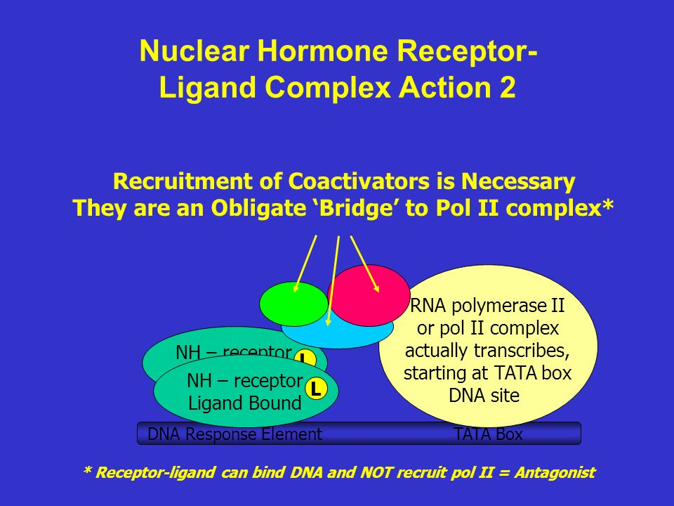 Nuclear Hormone Receptor- Ligand Complex Action 2