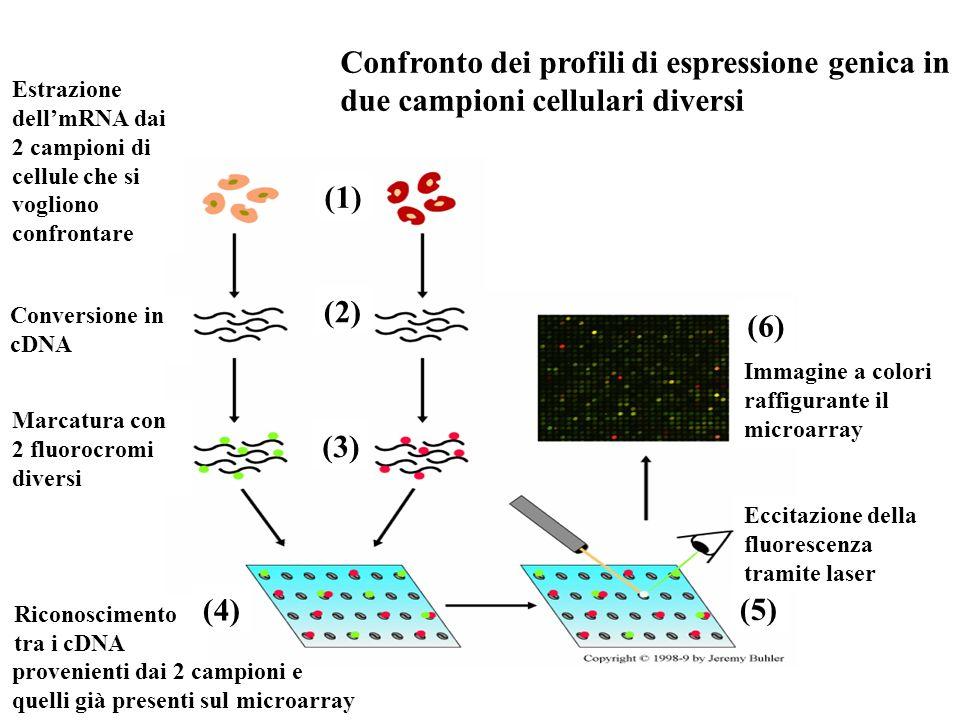 Confronto dei profili di espressione genica in due campioni cellulari diversi