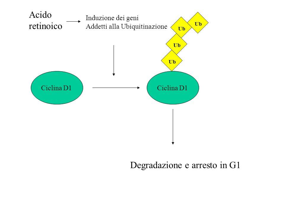 Degradazione e arresto in G1