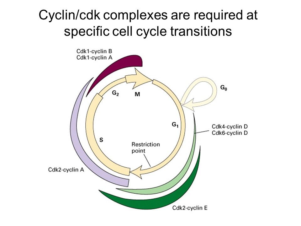 Cyclin/cdk complexes are required at specific cell cycle transitions