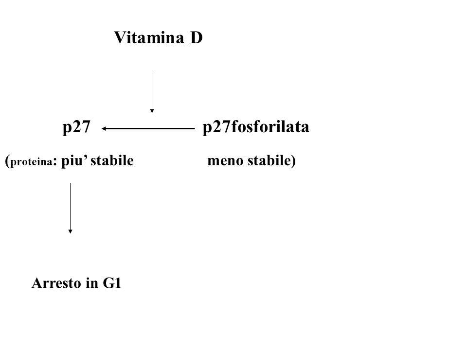 Vitamina D p27 p27fosforilata (proteina: piu' stabile meno stabile)