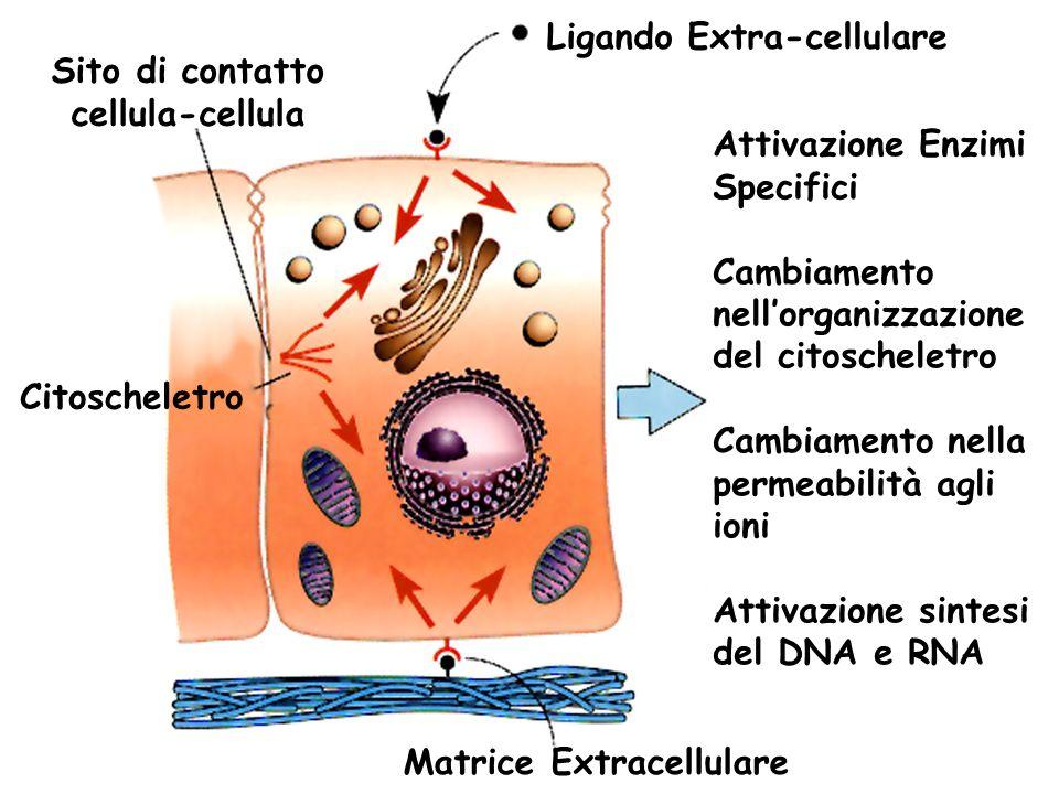 Ligando Extra-cellulare Sito di contatto cellula-cellula