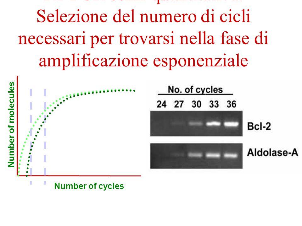 RT-PCR semi-quantitativa: Selezione del numero di cicli necessari per trovarsi nella fase di amplificazione esponenziale