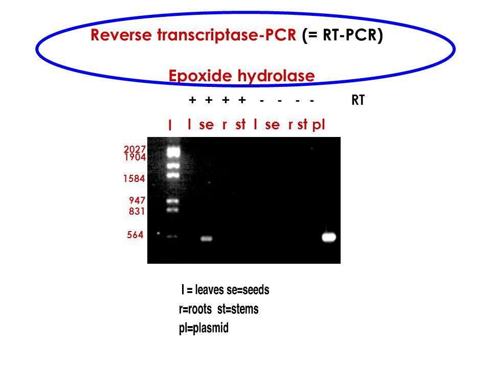 Reverse transcriptase-PCR (= RT-PCR)