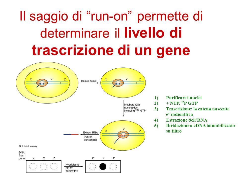 Il saggio di run-on permette di determinare il livello di trascrizione di un gene
