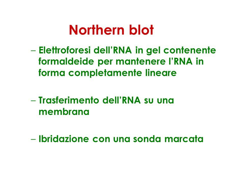Northern blot Elettroforesi dell'RNA in gel contenente formaldeide per mantenere l'RNA in forma completamente lineare.