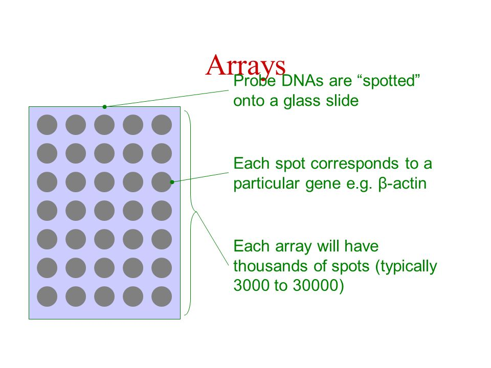 Arrays Probe DNAs are spotted onto a glass slide