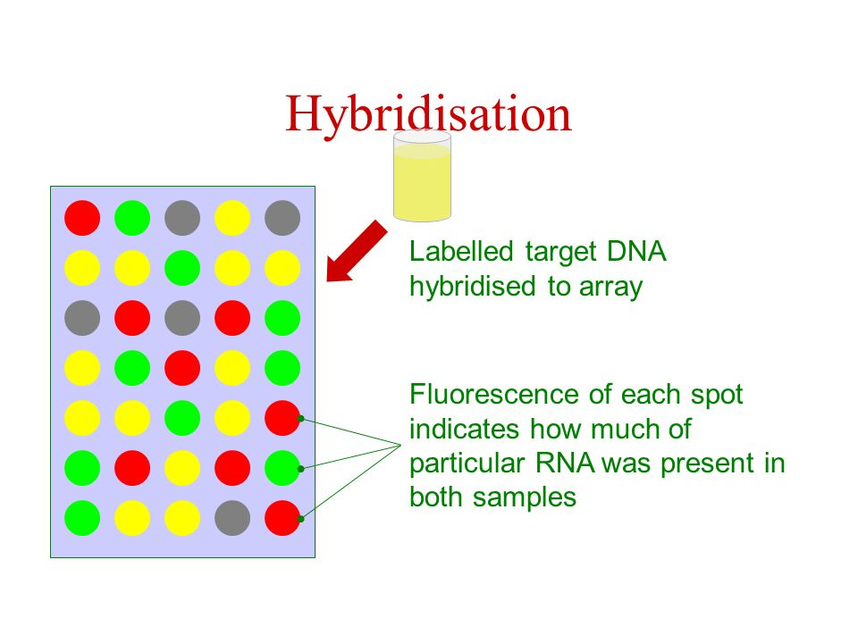 Hybridisation Labelled target DNA hybridised to array