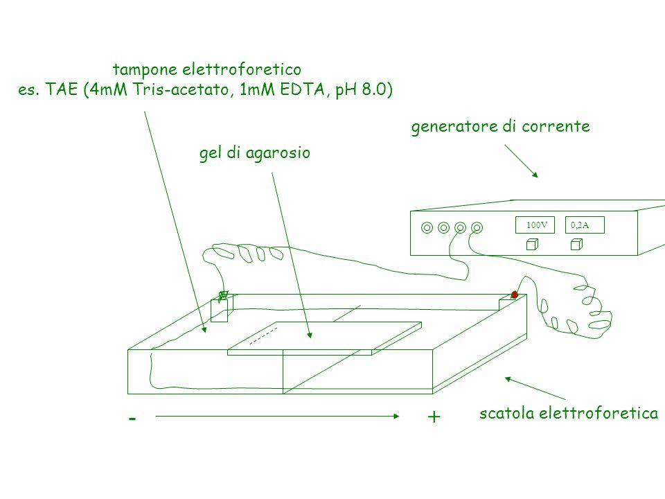 + - tampone elettroforetico