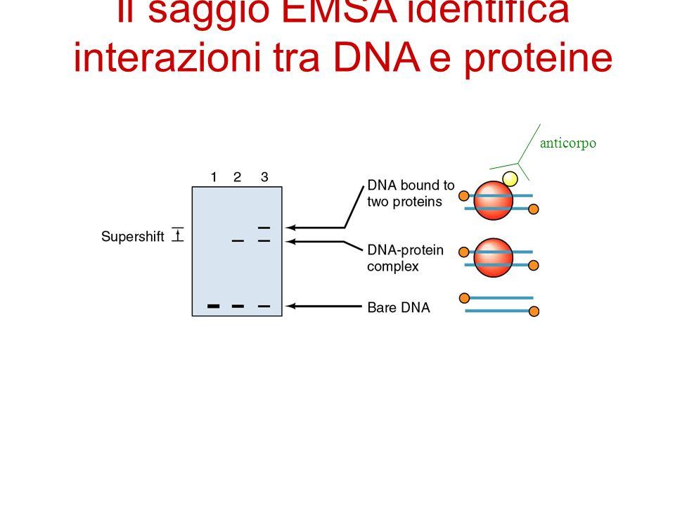 Il saggio EMSA identifica interazioni tra DNA e proteine