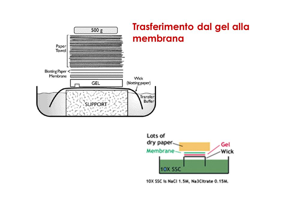 Trasferimento dal gel alla membrana
