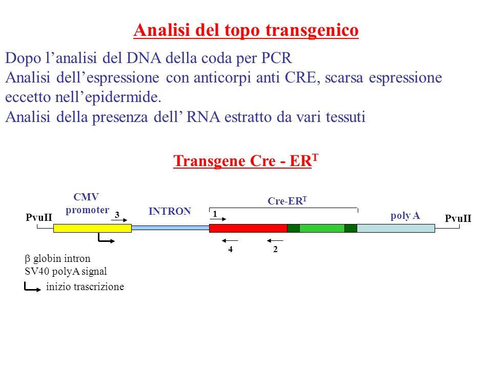 Analisi del topo transgenico