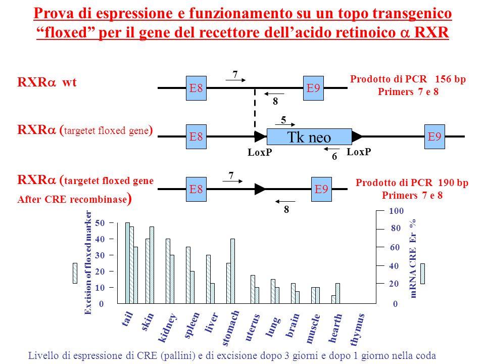 Prova di espressione e funzionamento su un topo transgenico floxed per il gene del recettore dell'acido retinoico a RXR