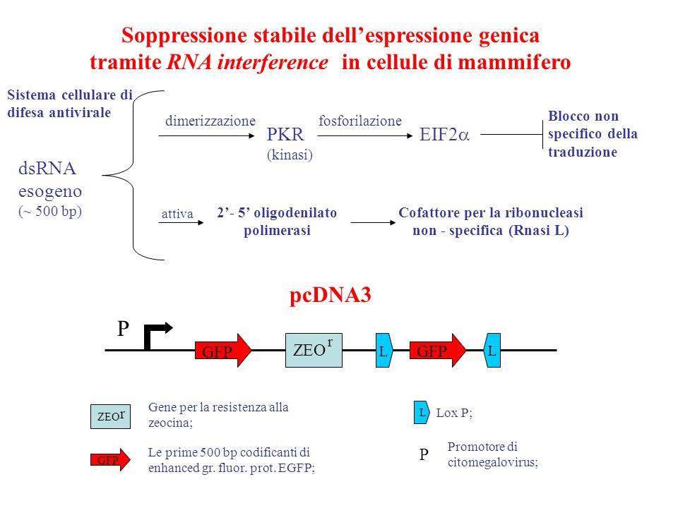 fosforilazione PKR (kinasi) EIF2 dimerizzazione. Blocco non specifico della traduzione. 2'- 5' oligodenilato polimerasi.