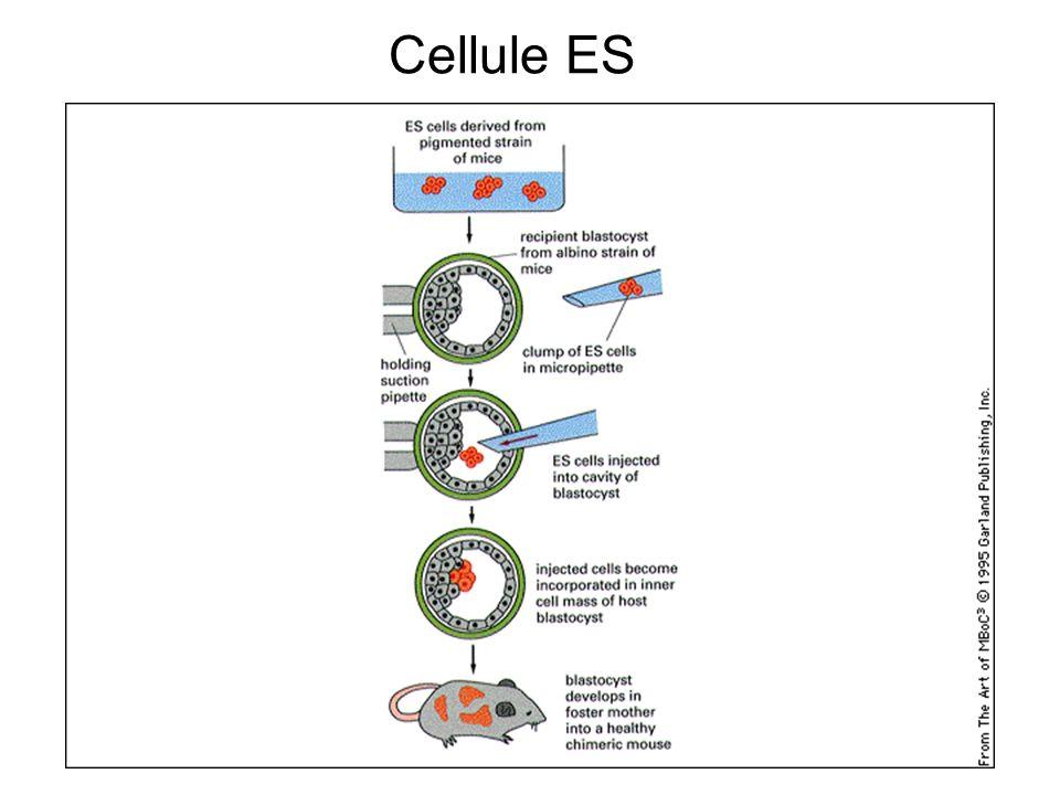 Cellule ES