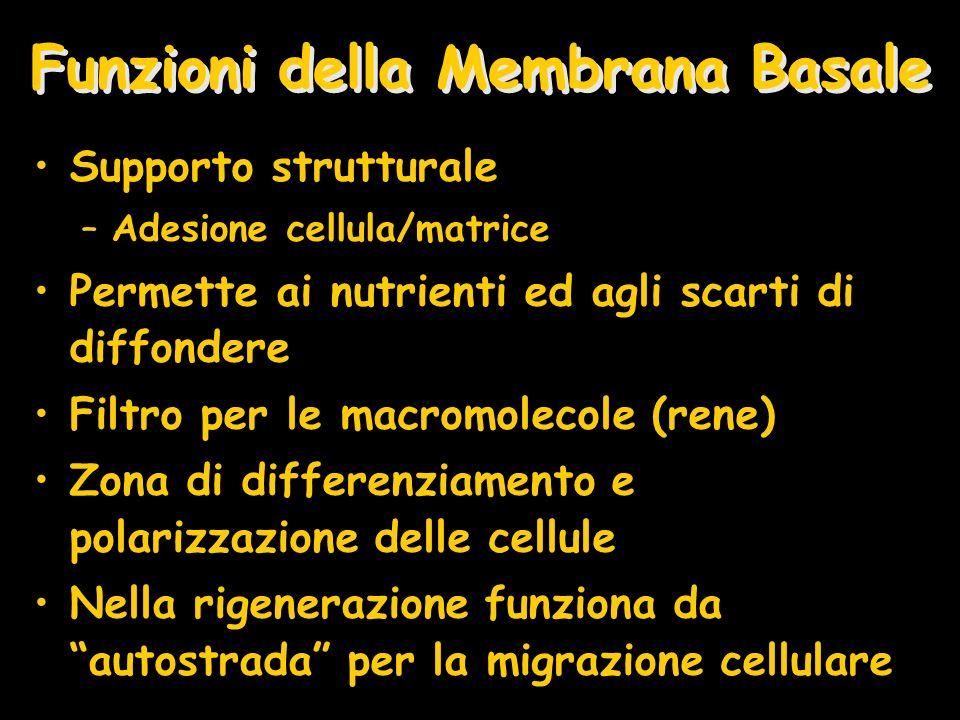 Funzioni della Membrana Basale