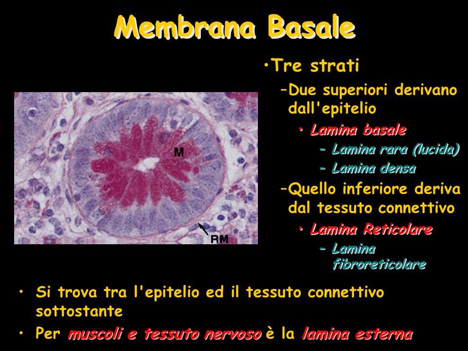 Membrana Basale Tre strati Due superiori derivano dall epitelio