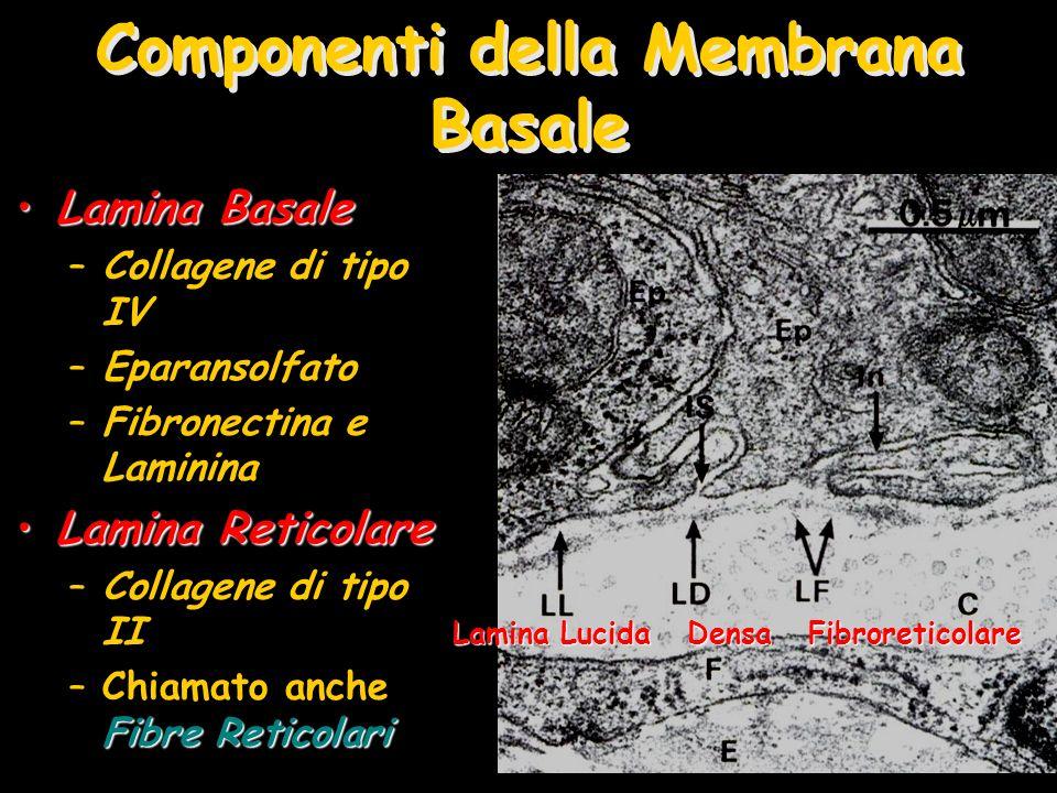 Componenti della Membrana Basale