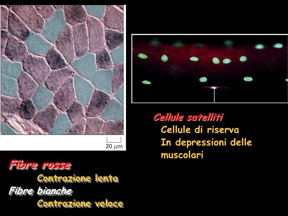 Fibre rosse Cellule satelliti Cellule di riserva In depressioni delle
