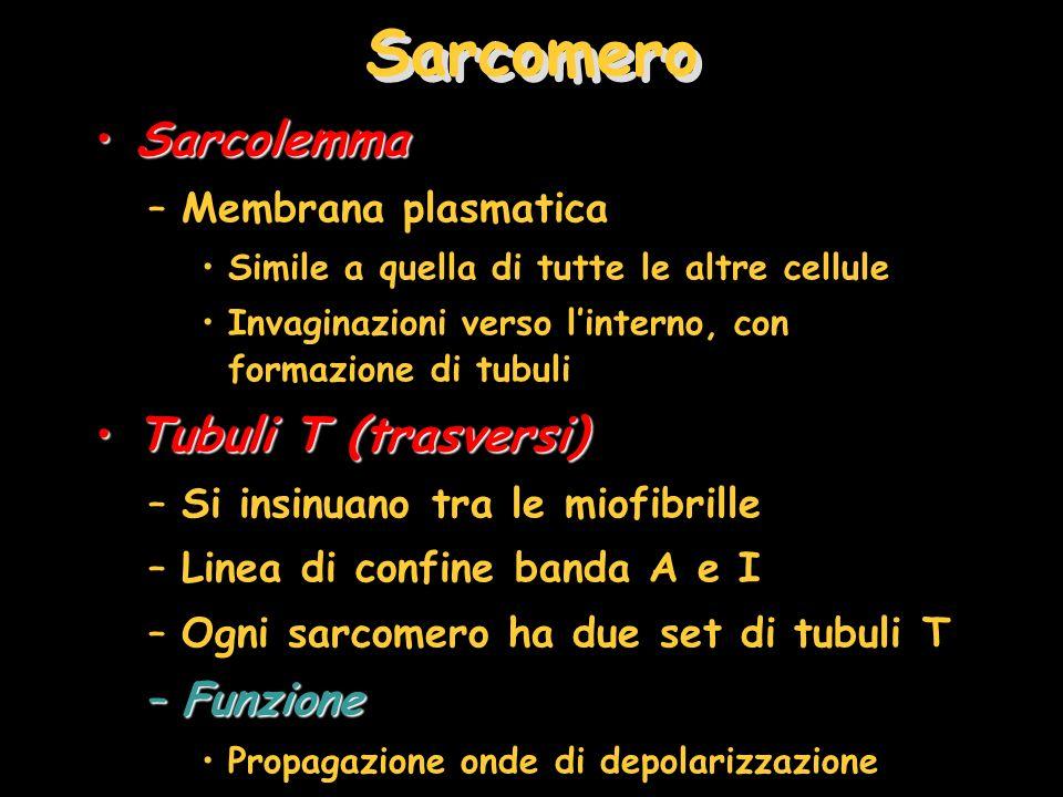Sarcomero Sarcolemma Tubuli T (trasversi) Funzione Membrana plasmatica