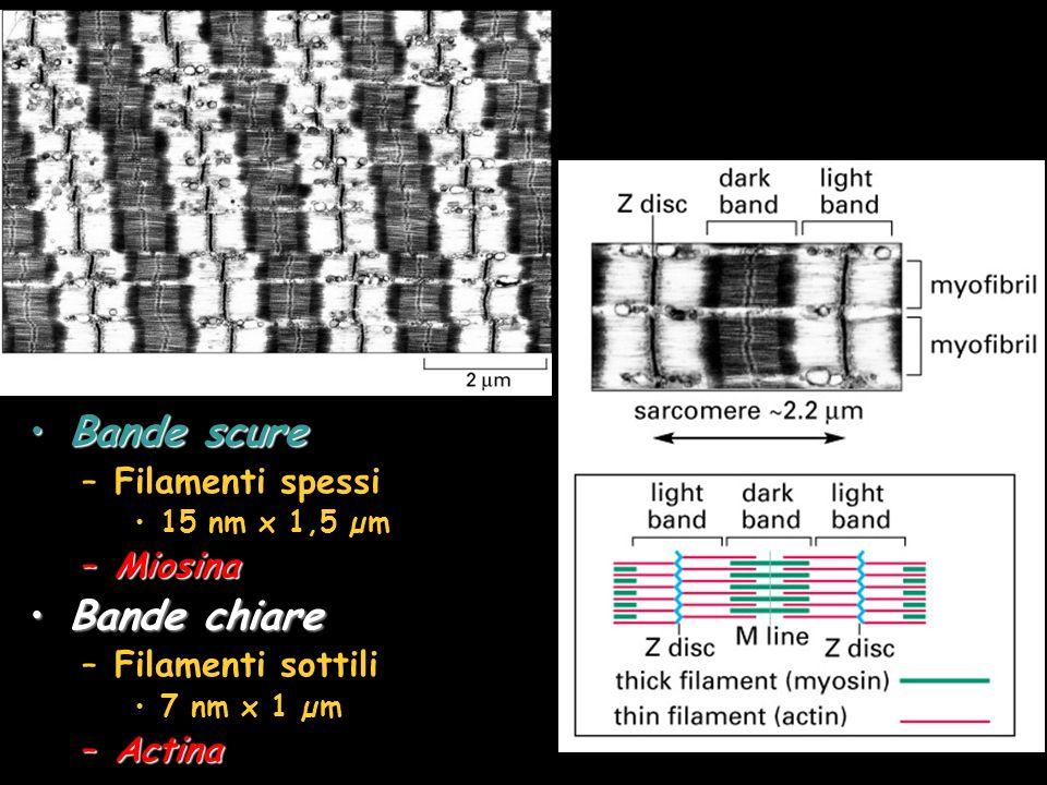 Bande scure Bande chiare Filamenti spessi Miosina Filamenti sottili
