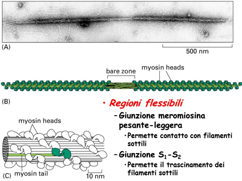 Regioni flessibili Giunzione meromiosina pesante-leggera