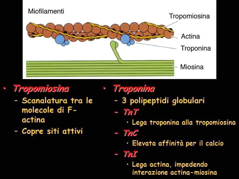 Tropomiosina Troponina Scanalatura tra le molecole di F-actina