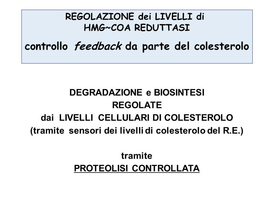 controllo feedback da parte del colesterolo