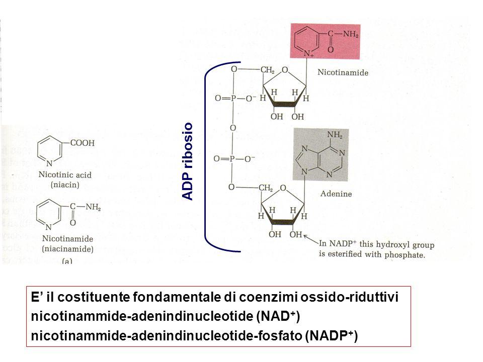 ADP ribosio STRUTTURA. E' il costituente fondamentale di coenzimi ossido-riduttivi. nicotinammide-adenindinucleotide (NAD+)