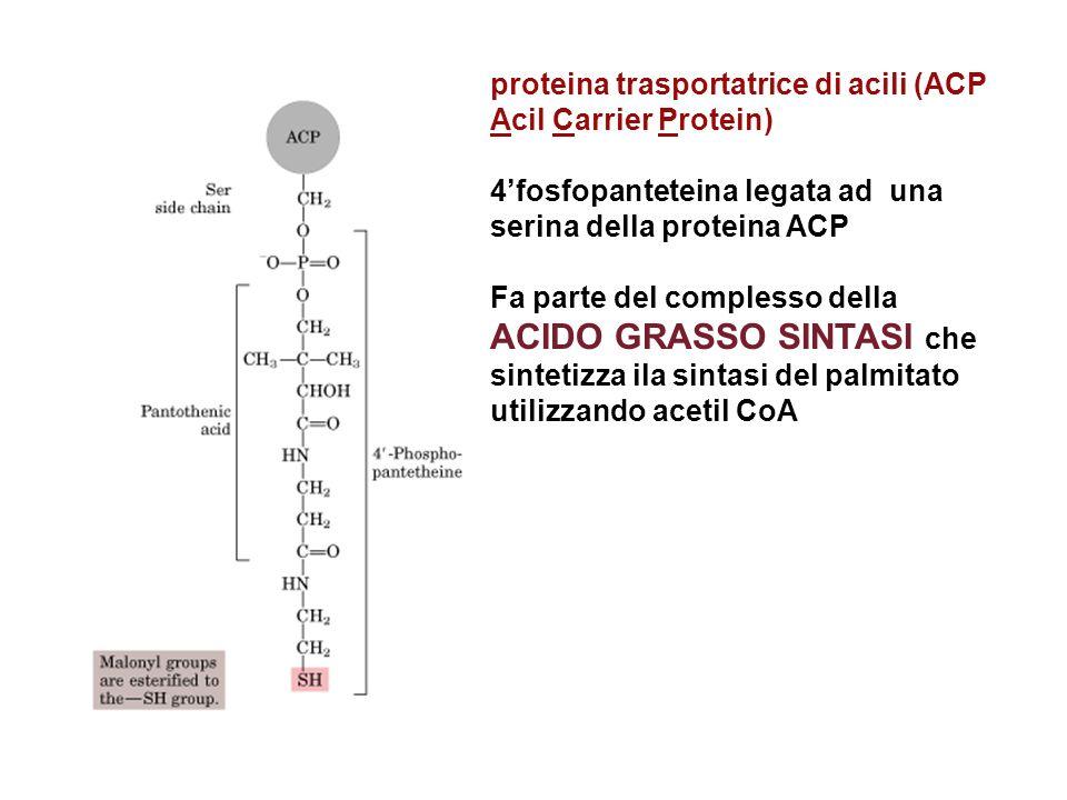 proteina trasportatrice di acili (ACP Acil Carrier Protein)
