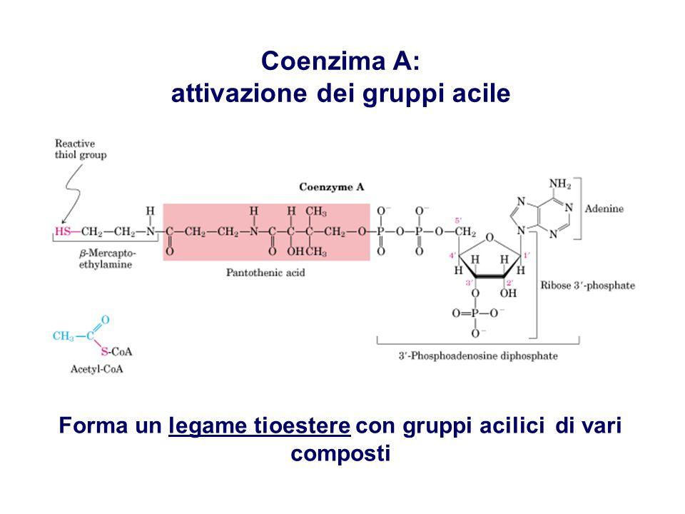 Coenzima A: attivazione dei gruppi acile