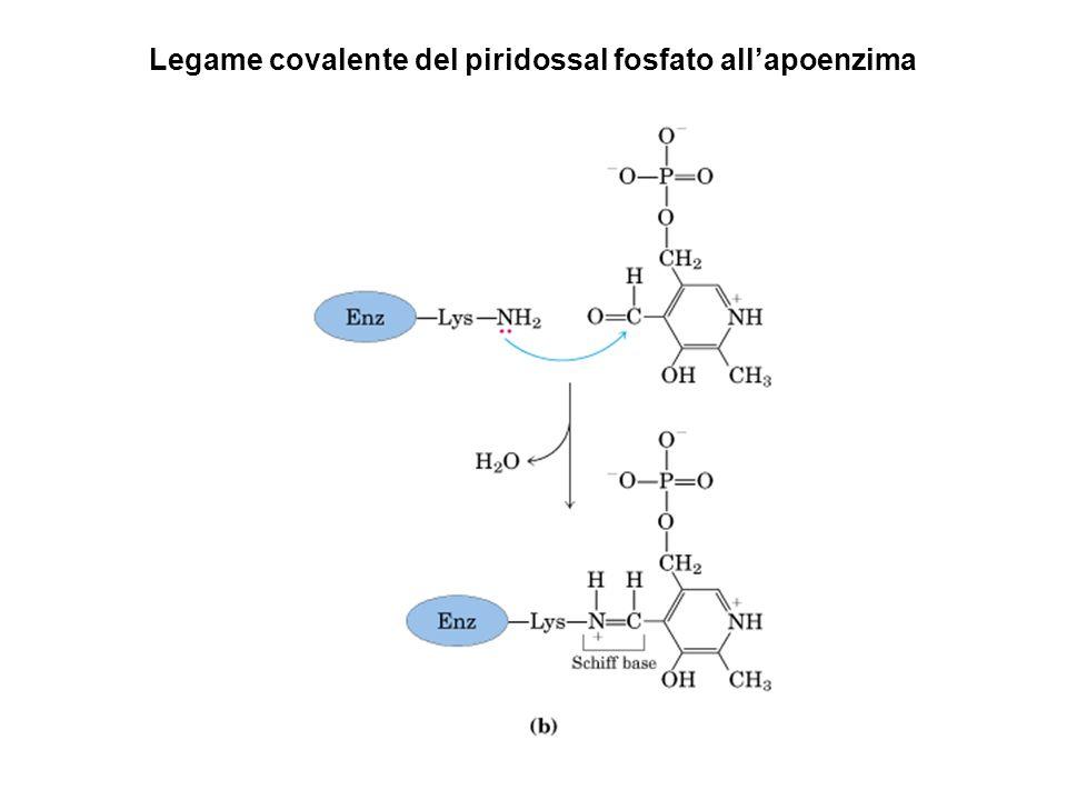 Legame covalente del piridossal fosfato all'apoenzima