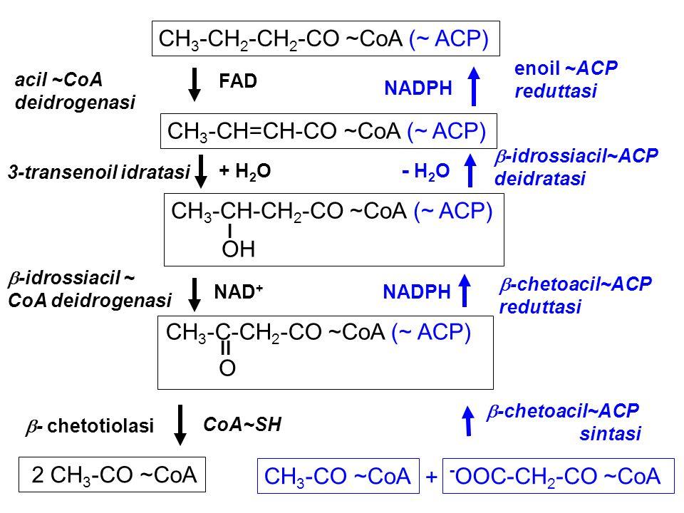 -OOC-CH2-CO ~CoA CH3-CH2-CH2-CO ~CoA (~ ACP) CH3-CH=CH-CO ~CoA (~ ACP)