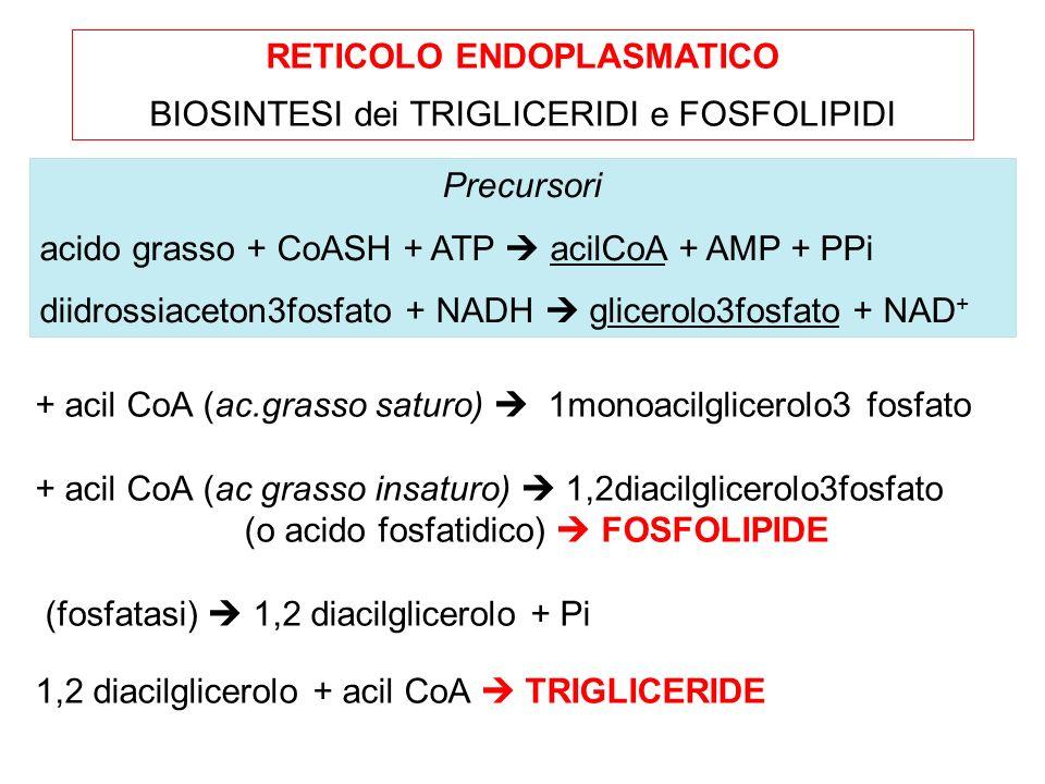 RETICOLO ENDOPLASMATICO BIOSINTESI dei TRIGLICERIDI e FOSFOLIPIDI