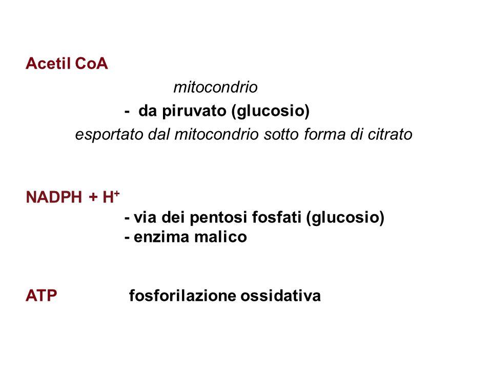 Acetil CoA mitocondrio. - da piruvato (glucosio) esportato dal mitocondrio sotto forma di citrato.