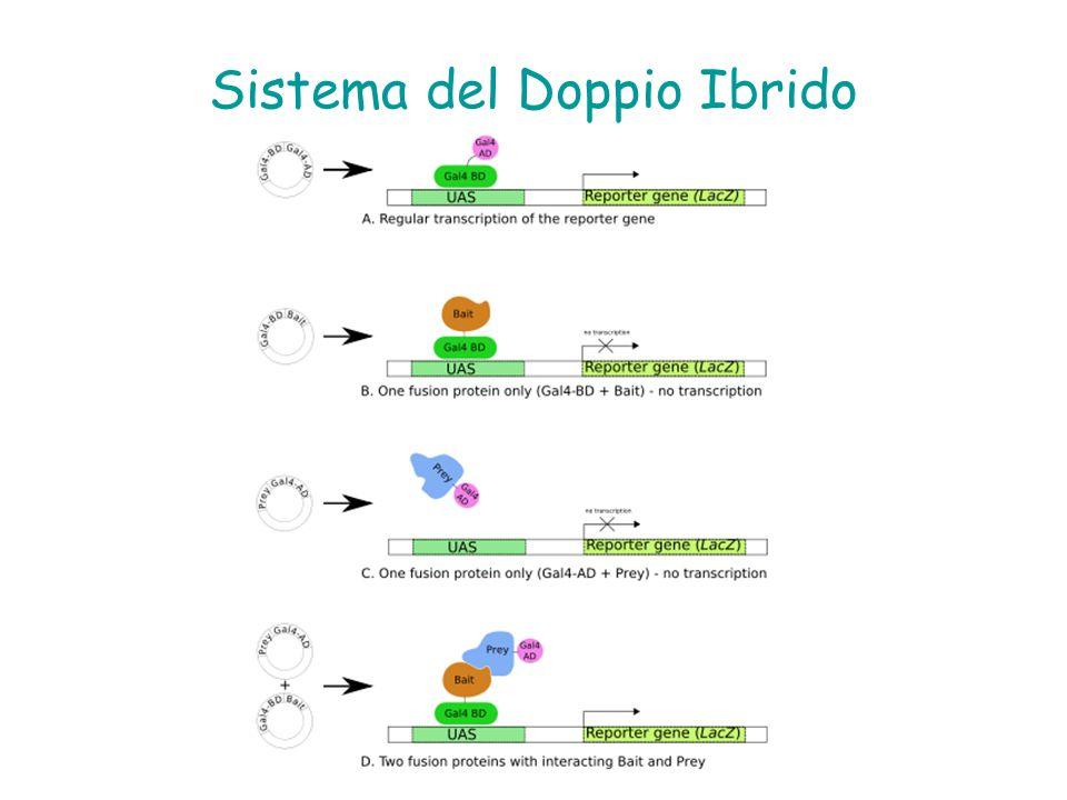 Sistema del Doppio Ibrido