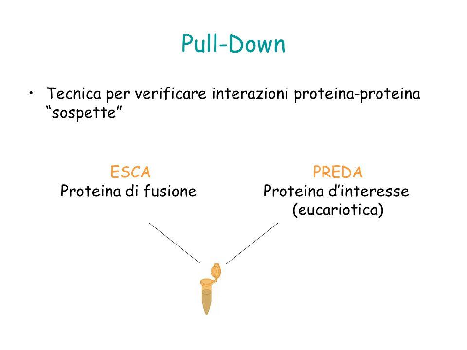 Pull-Down Tecnica per verificare interazioni proteina-proteina sospette ESCA. Proteina di fusione.