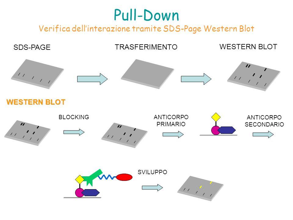 Pull-Down Verifica dell'interazione tramite SDS-Page Western Blot