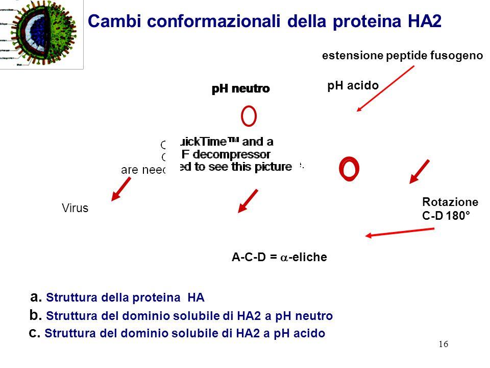 Cambi conformazionali della proteina HA2