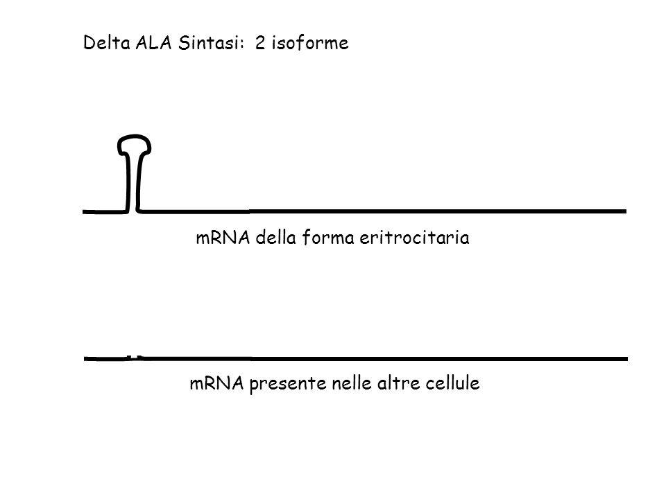 Delta ALA Sintasi: 2 isoforme