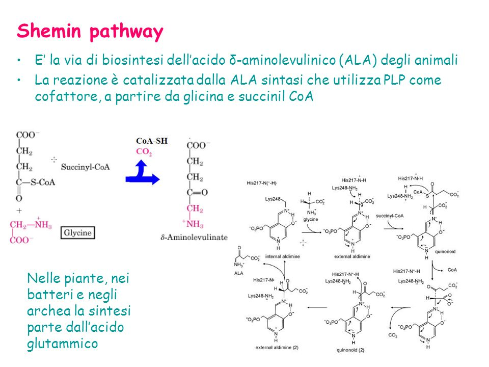 Shemin pathway E' la via di biosintesi dell'acido δ-aminolevulinico (ALA) degli animali.