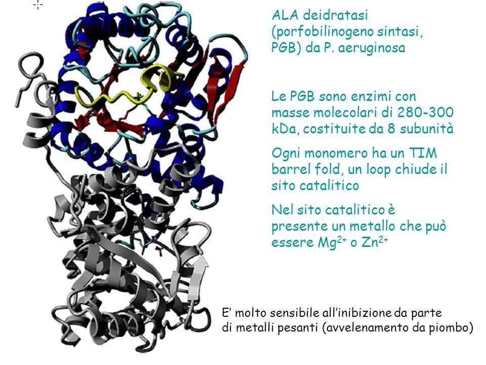 ALA deidratasi (porfobilinogeno sintasi, PGB) da P. aeruginosa